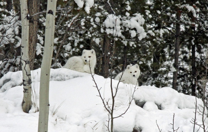 renards-arctiques